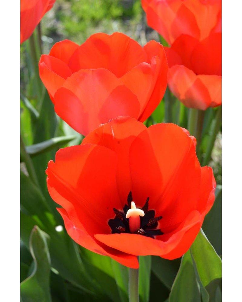 Ornamental Tulip Red Impression