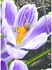 Großes Imkerpaket mit 700 Blumenzwiebeln. Die frühesten Blüher mit dem höchsten Nektar- und Pollenwert.