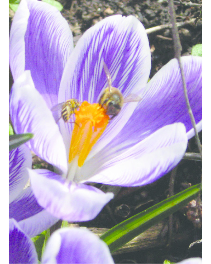 Beekeeper Bulk package A with 700 flower bulbs. The earliest bloomers with the highest nectar and pollen value.