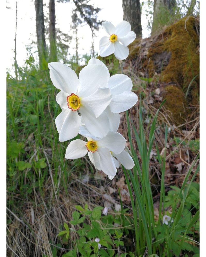Daffodil Recurvus poeticus - chemical-free grown