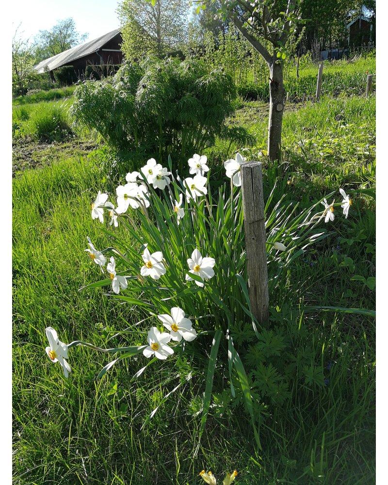 Daffodil Recurvus poeticus
