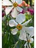 Narcis Recurvus poeticus - chemievrij geteeld