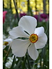 Daffodil Recurvus poeticus - grown without chemicals