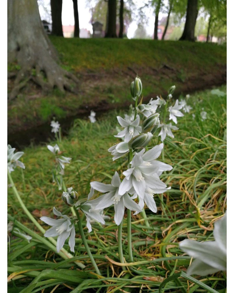Drooping star of Betlehem -ornithogalum nutans - chemicalfree grown