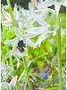 Nickende Vogelmilch - Ornithogalum nutans - ohne Chemie gezüchtet