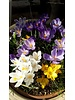 Early crocus mix - crocus tommasinianus mix - grown free of chemicals