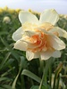 Daffodil Replete,  double - chemical-free grown