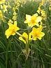 Narcissus Martinette - chemiefreier Anbau