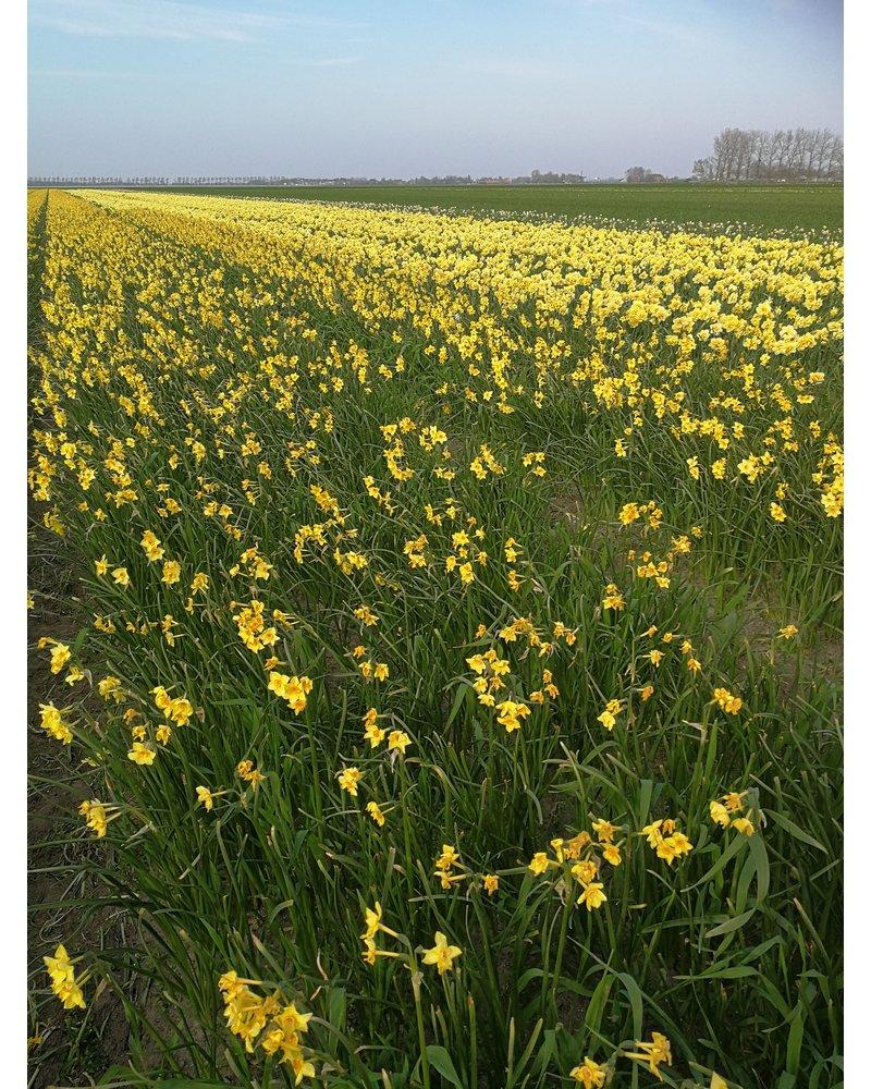 Daffodil Martinette - chemical free grown