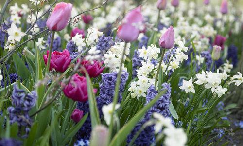 PAKKET -tulpen en narcissen mix, voor kleurrijk en hoog