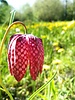 Kiew Blume - fritillaria meleagris  -ohne Chemie gezüchtet