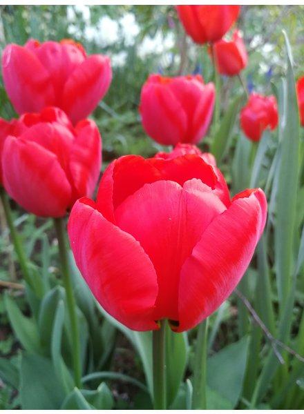 Tulipa Sanquin