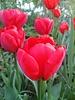 Ziertulip Sanquin - ohne Chemie gezüchtet