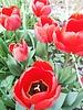 Tulipa Sanquin - ohne Chemie gezüchtet
