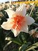Narcis Replete - chemievrij geteeld