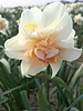 Daffodil Replete - grown free of chemicals