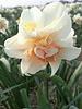 Narcis Replete,  double - chemievrij geteeld