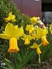 Daffodil Jetfire jonquilla - chemical free grown