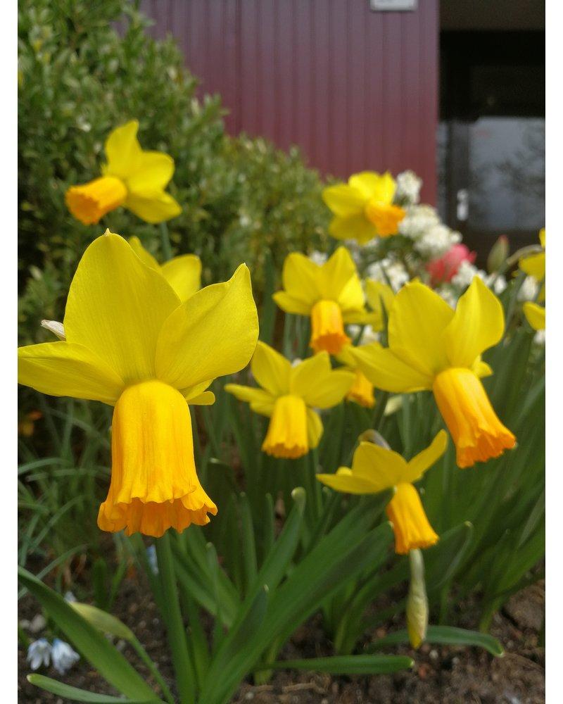 Narcissus Jetfire jonquilla - chemiefreier Anbau