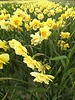 Narcis Tahiti,  double - chemievrij geteeld