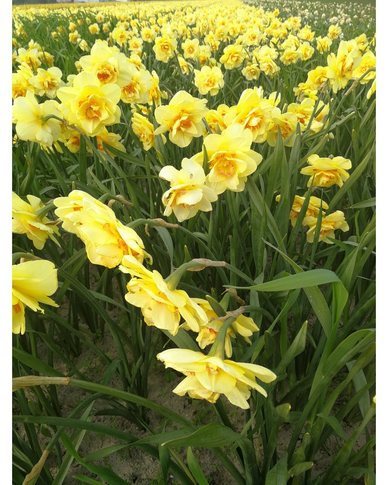 Daffodil Tahiti,  double -grown chemical free