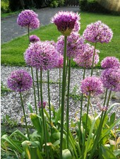 Allium grand. Purple Sensation