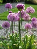 Allium grossblumige  Purple Sensation - ohne Chemie gezüchtet