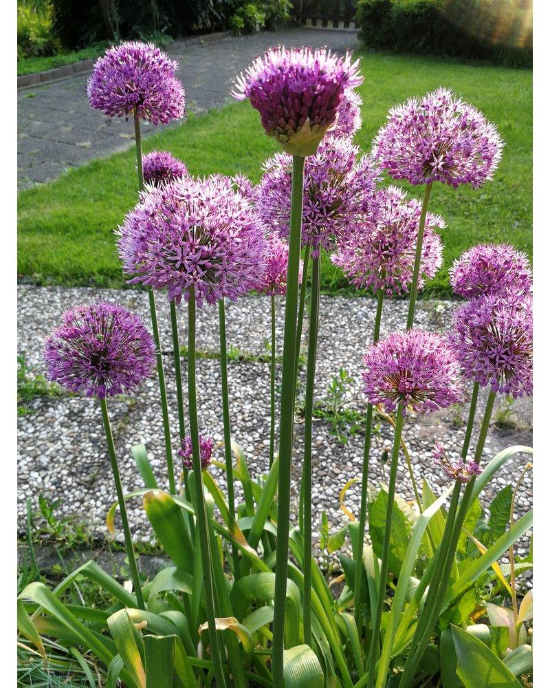 Grootbloemige sierui Purple Sensation - allium purple sensation - 100% chemievrij geteeld