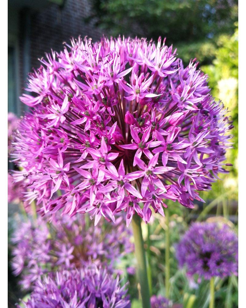 Allium grossblumige  Purple Sensation - chemiefreier Anbau