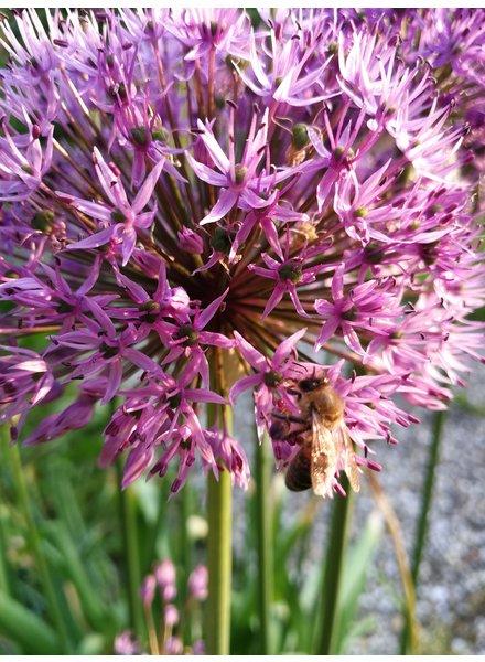 Allium grand. Purple Sensation