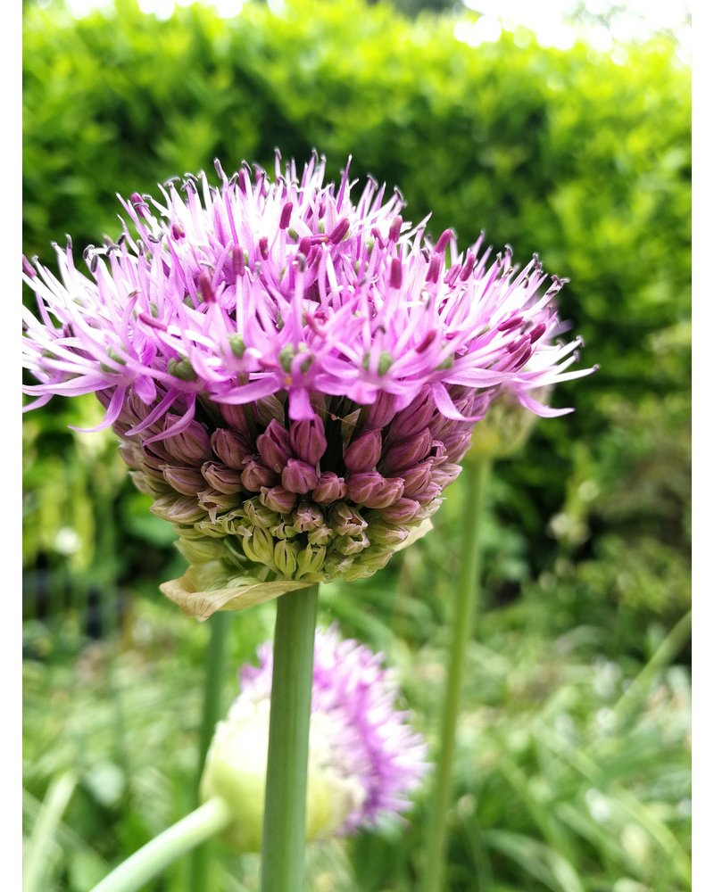 Ornamental onion - allium Purple Sensation - grown free of chemicals