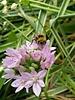 Small flowered onion - Allium Unifolium - grown free of chemicals