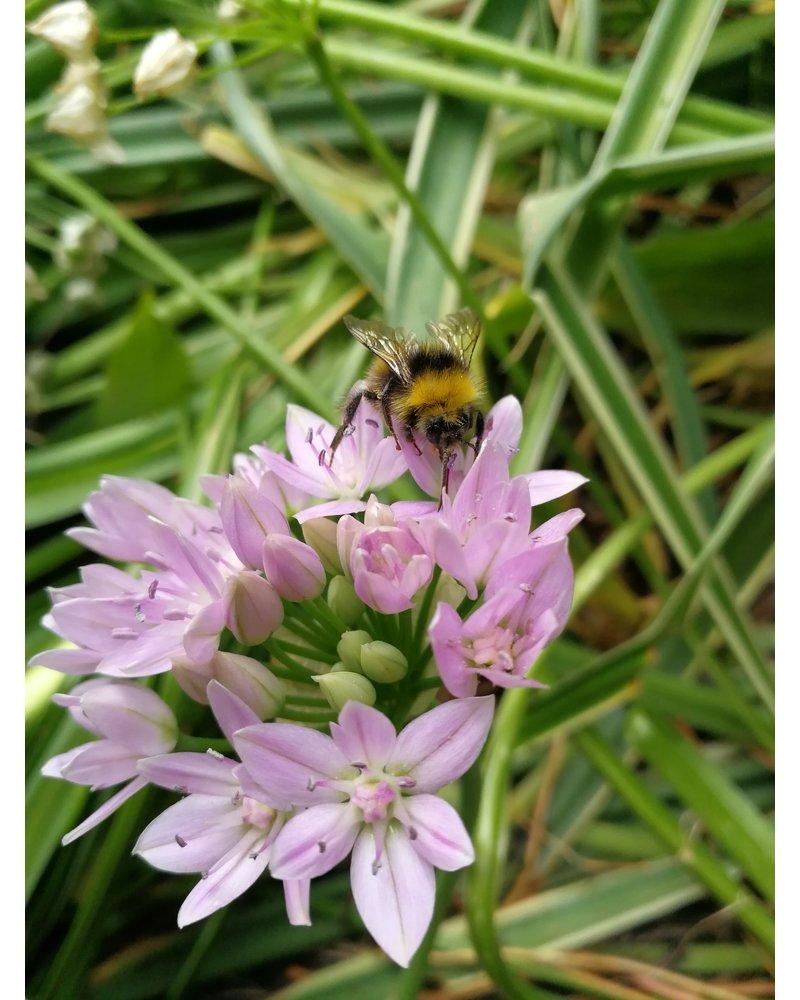 Kleinbloemige Sierui  Unifolium - Allium Unifolium - chemievrij geteeld