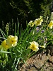 Daffodil Sundisc,  jonquilla - chemical free grown