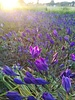 Ithuriel's speer - brodiaea corrina - chemiefreier Anbau