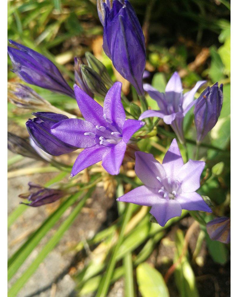 Ithuriel's speer - brodiaea corrina - chemical free grown