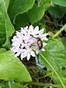 Small flowered onion - Allium Unifolium - chemical-free grown