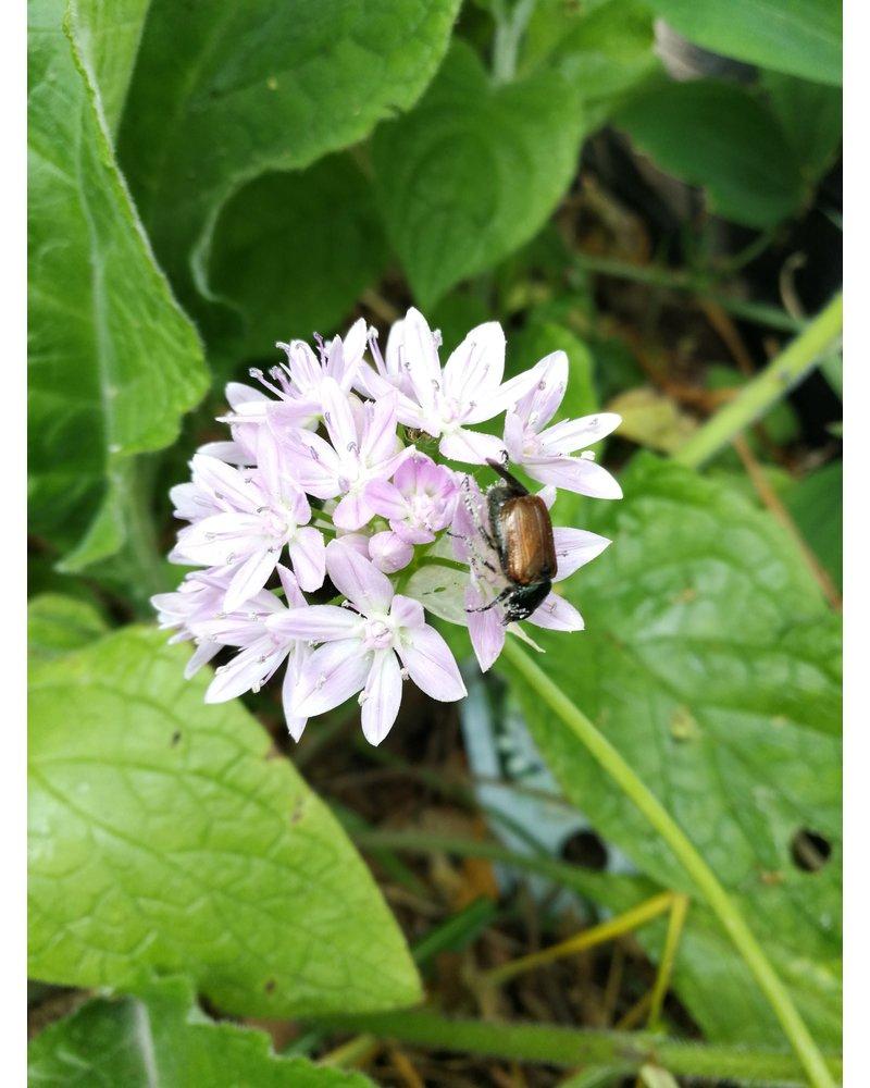 Allium Unifolium - ohne Chemie gezüchtet