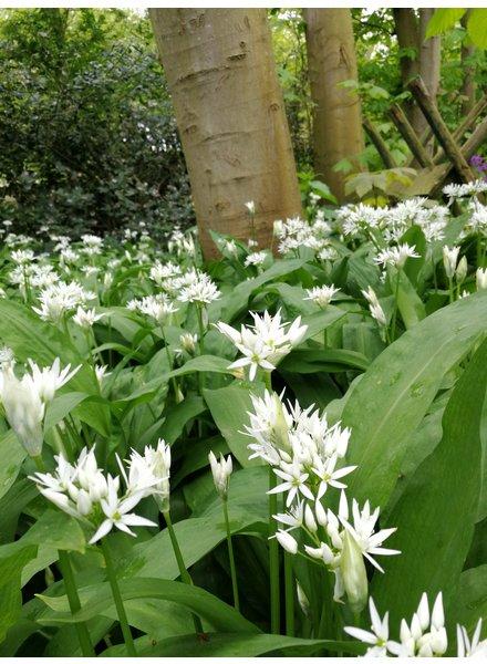 Allium Ursinum - Wood garlic