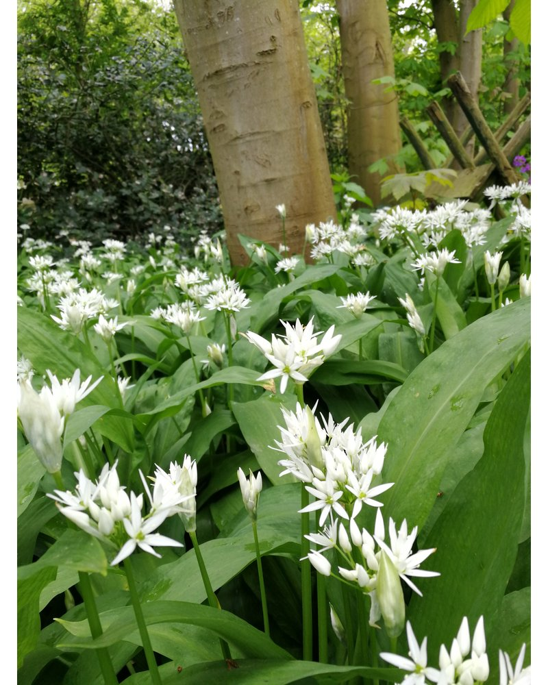 Wood garlic - allium ursinum - grown free of chemicals