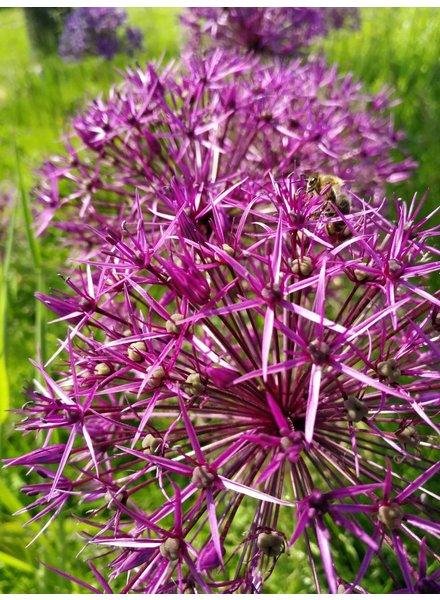 Allium grandiflorum Christophii