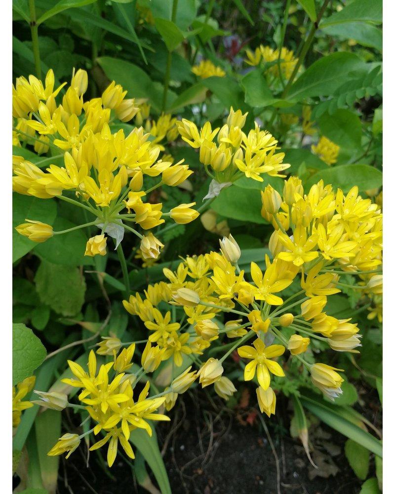 Kleinblumige Allium  Moly Jeannine - ohne Chemie gezüchtet
