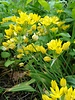 Smallflowered gold garlic - allium moly jeannine - grown free of chemicals