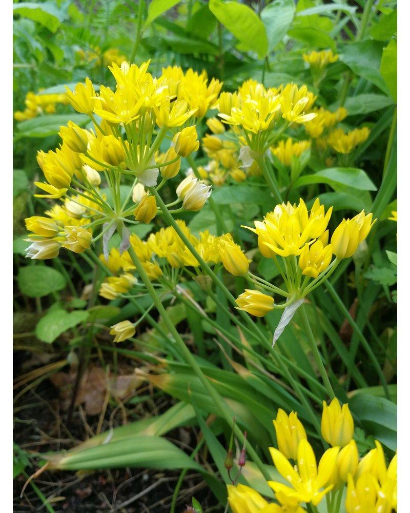 Kleinblumige Allium  Moly Jeannine - chemiefreier Anbau