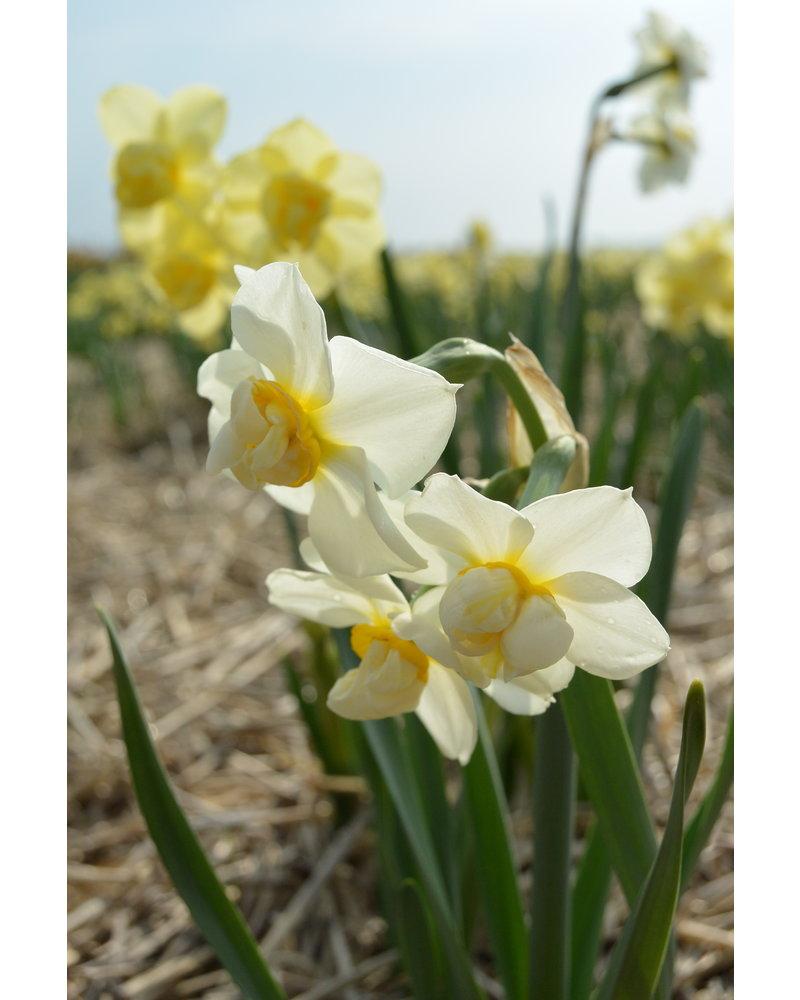 Narcis mix .  Exclusievere soorten. Principieel zonder chemie geteeld