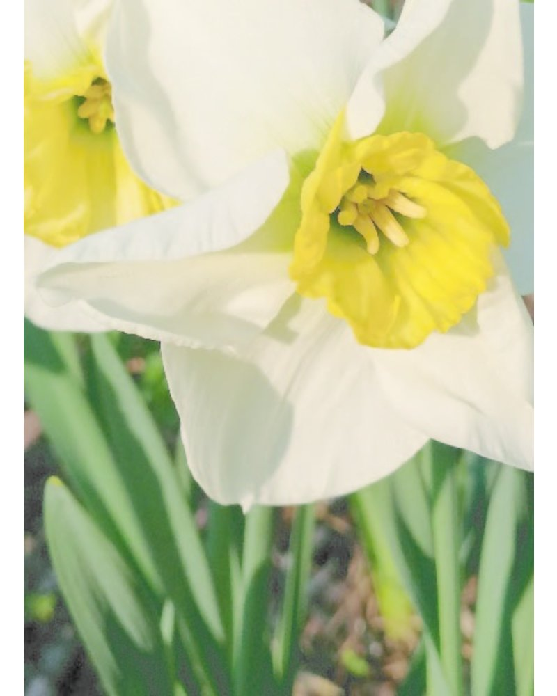 Daffodil Mix Package. Grown without chemicals