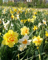 Daffodil Mix Package