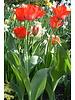 Tulp Ad Rem,  darwin hybrid - Chemiefreie Anbau