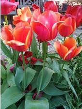 Tulipa Ad Rem