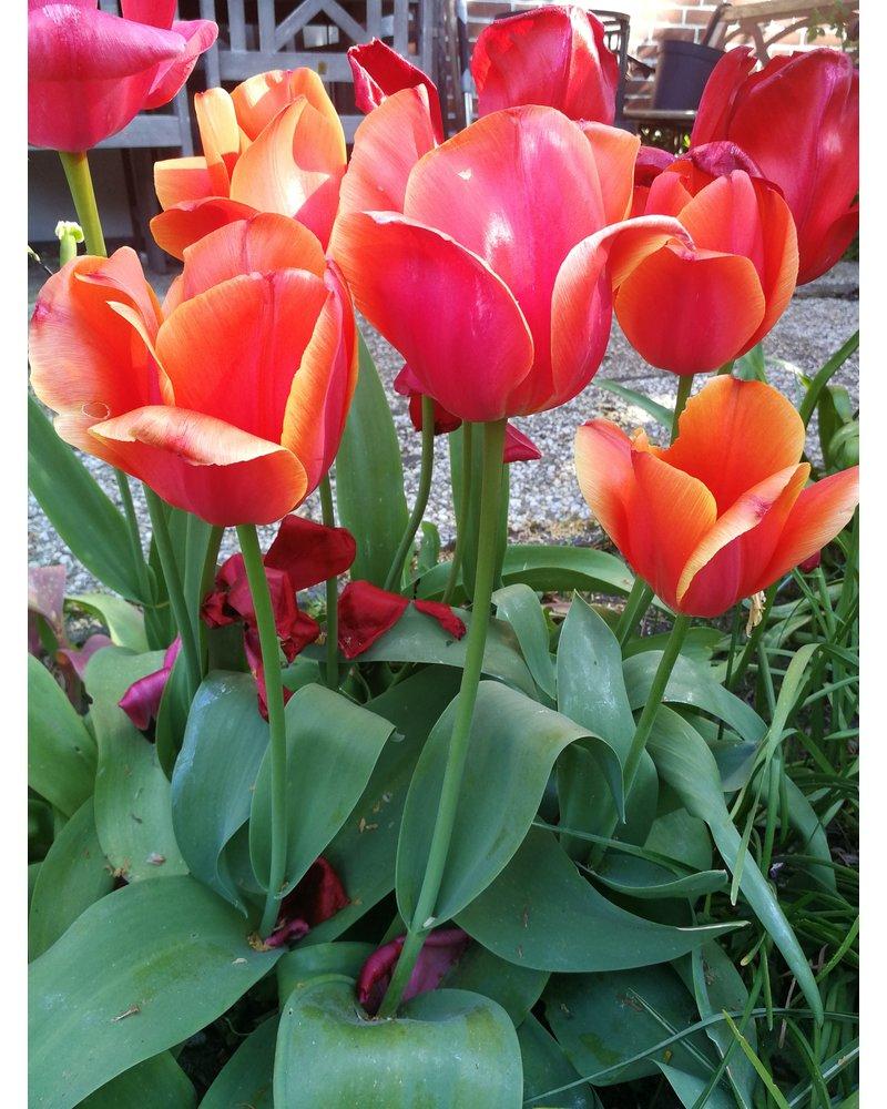 Tulipa Ad Rem,  darwin hybrid - chemical-free grown